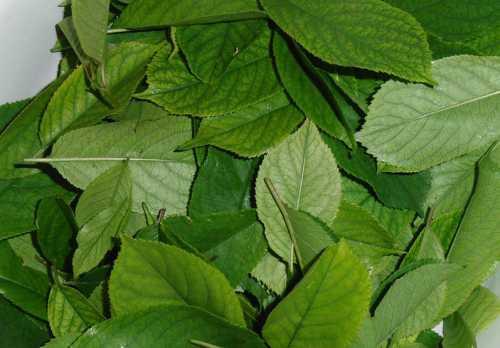 Полезные свойства листьев вишни, лечебные