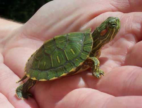 Красноухие черепахи: особенности ухода в домашних